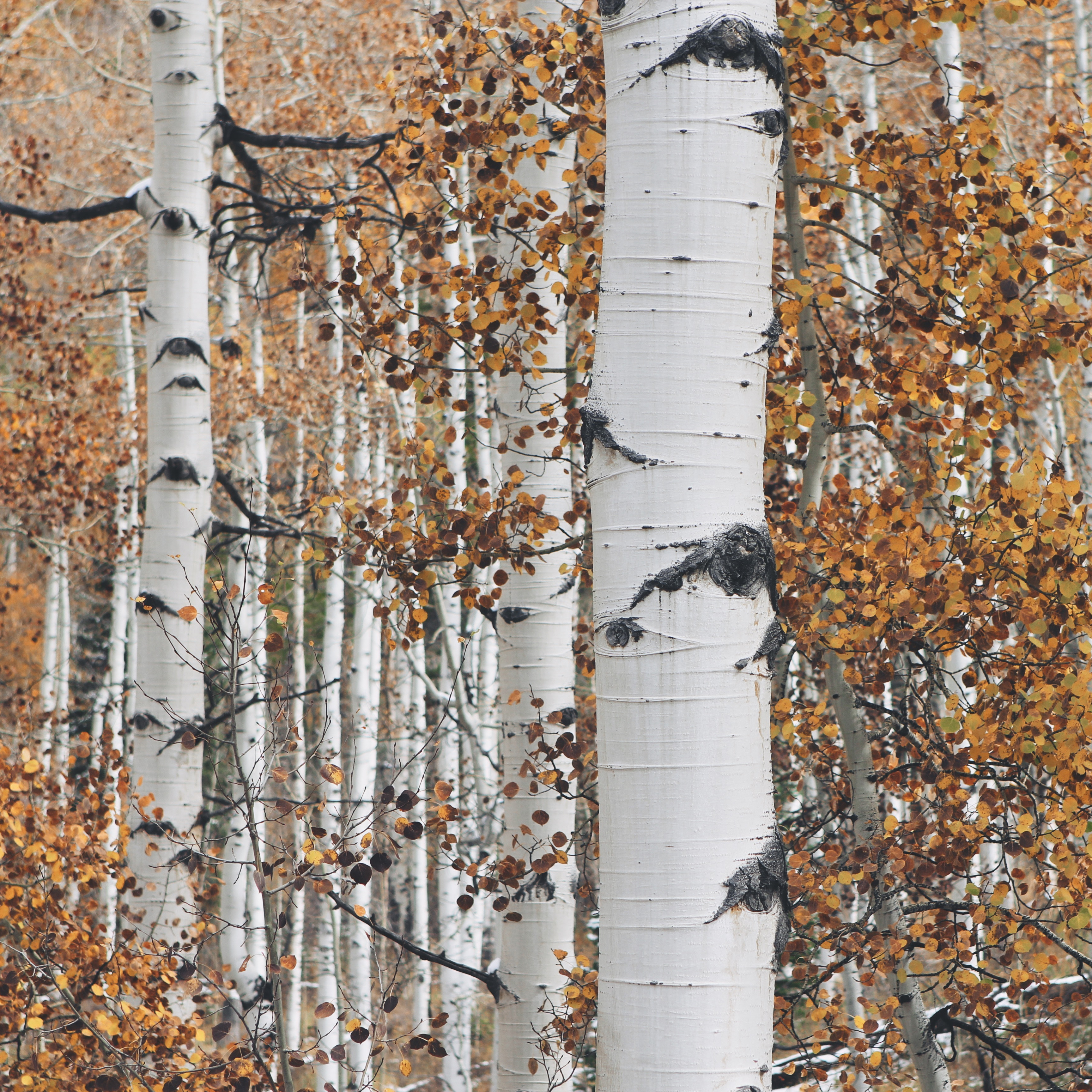 Tarmi's Silver Birch inspiration for her Art Couture Garment Mycelium. Image by John Price of Unsplash